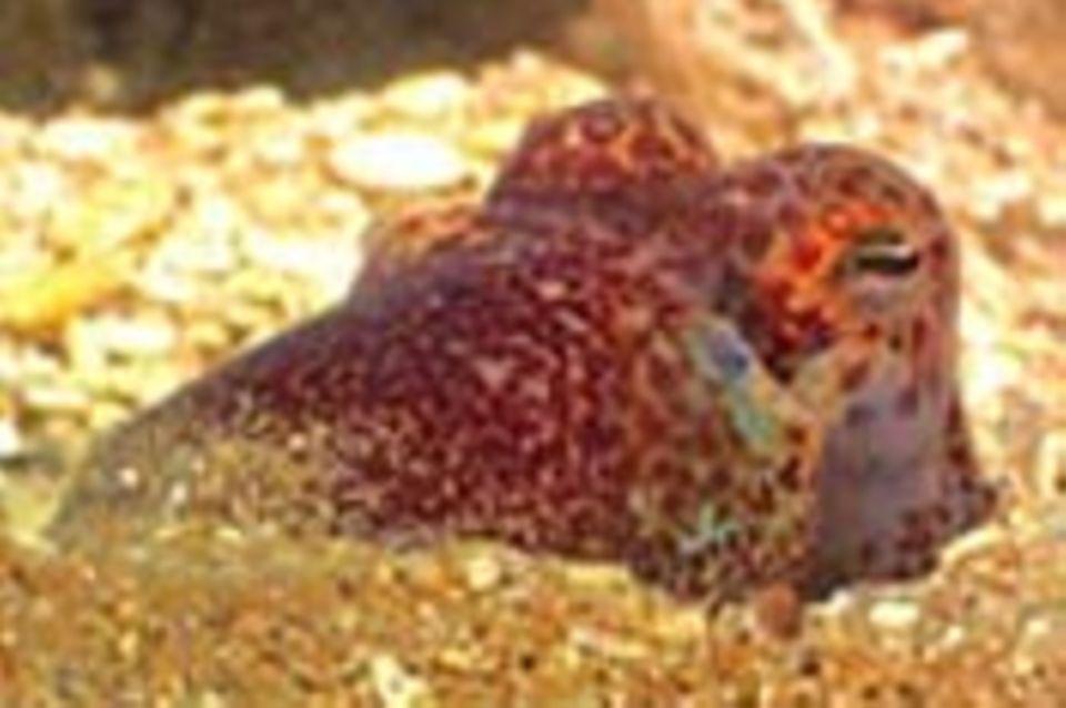 Tintenfisch mit eingebauter Lampe