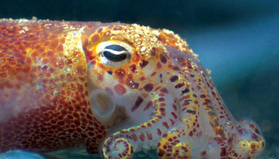 """Das reflektierende Gewebe im Bereich der Augen dieses Euprymna scolopes lässt seine """"Taschenlampe"""" leuchten"""