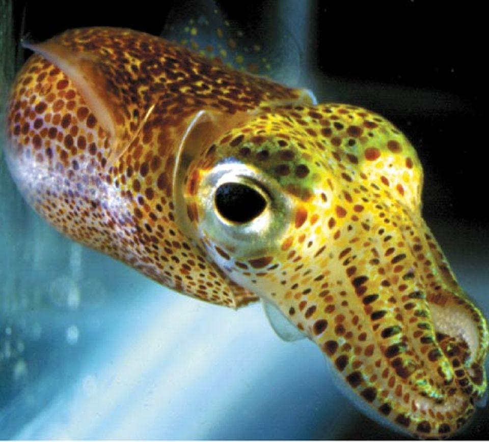 Die meisten Tintenfischarten haben große Köpfe und Augen. Ihre Fang-Tentakel sind mit Tintensäckchen gespickt