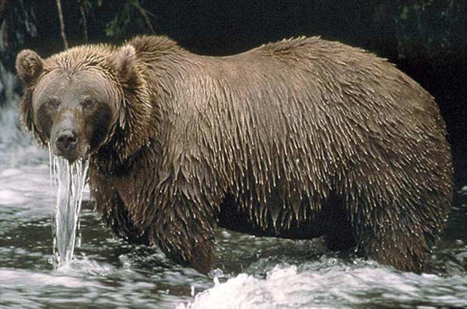 Fotoshow: Alaska: Stundenlang steht ein Braunbär im eiskalten Fluss und tunkt immer wieder den Kopf in den Strom, um nach Fischen Ausschau zu halten