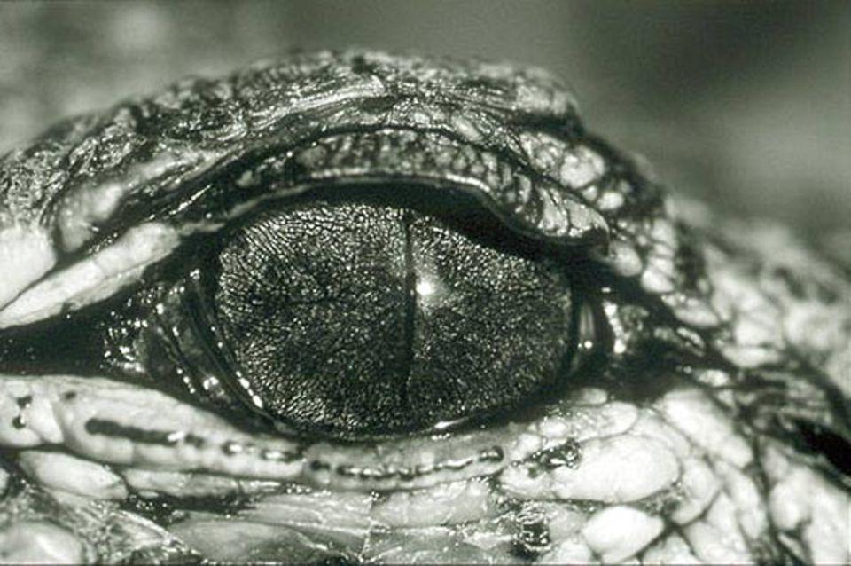 Fotoshow: Auge eines jungen Alligators