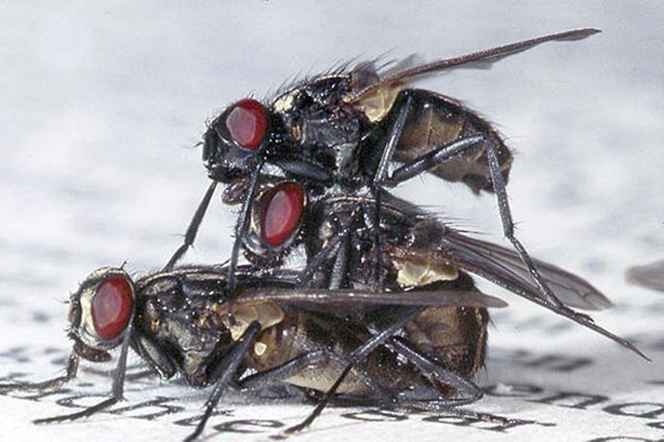 Fotoshow: Stubenfliegen: Das Insekt ganz oben ist ein neugieriges Männchen