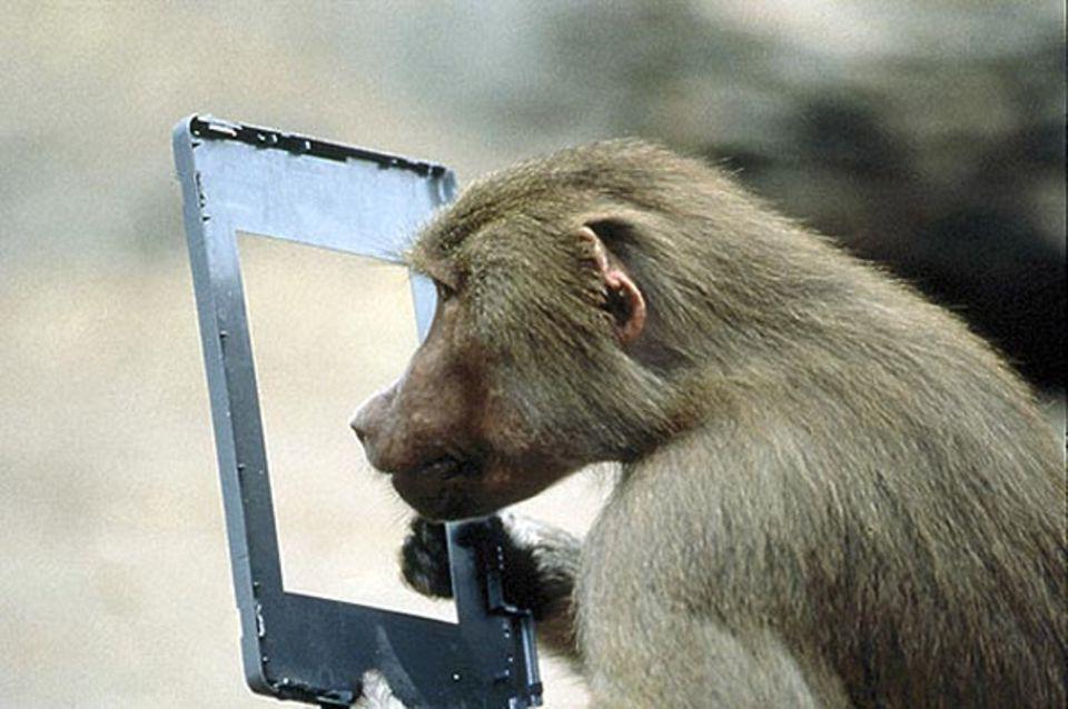Fotoshow: Neue Perspektive: Ein Pavian betrachtet die Welt durch ein ausgedientes Monitorfenster