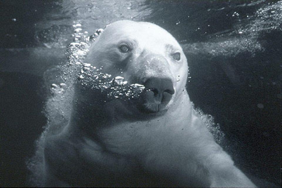 Fotoshow: Langer Atem: ein Eisbär in seinem Element
