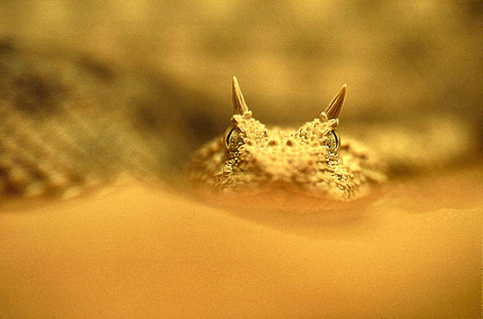 Fotoshow: Teufelchen: Die Hornviper zählt zu den giftigsten Schlangen der Sahara. Sie gilt zudem als sehr aggressiv