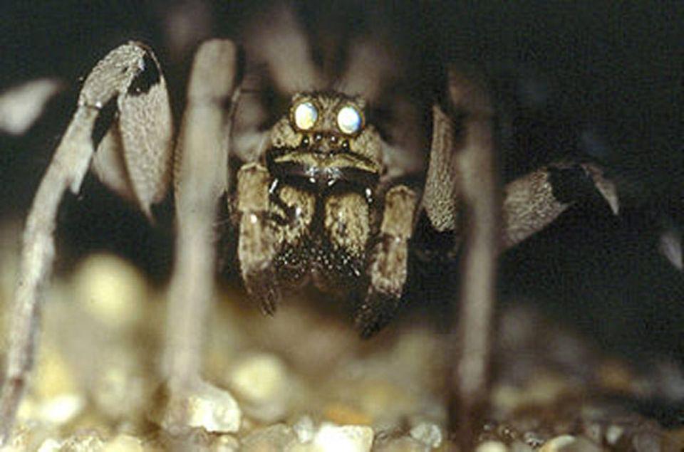 Fotoshow: Schau mir in die Augen ...: Die Augen der Tarantel leuchten unter einem bestimmten Lichtwinkel hell auf