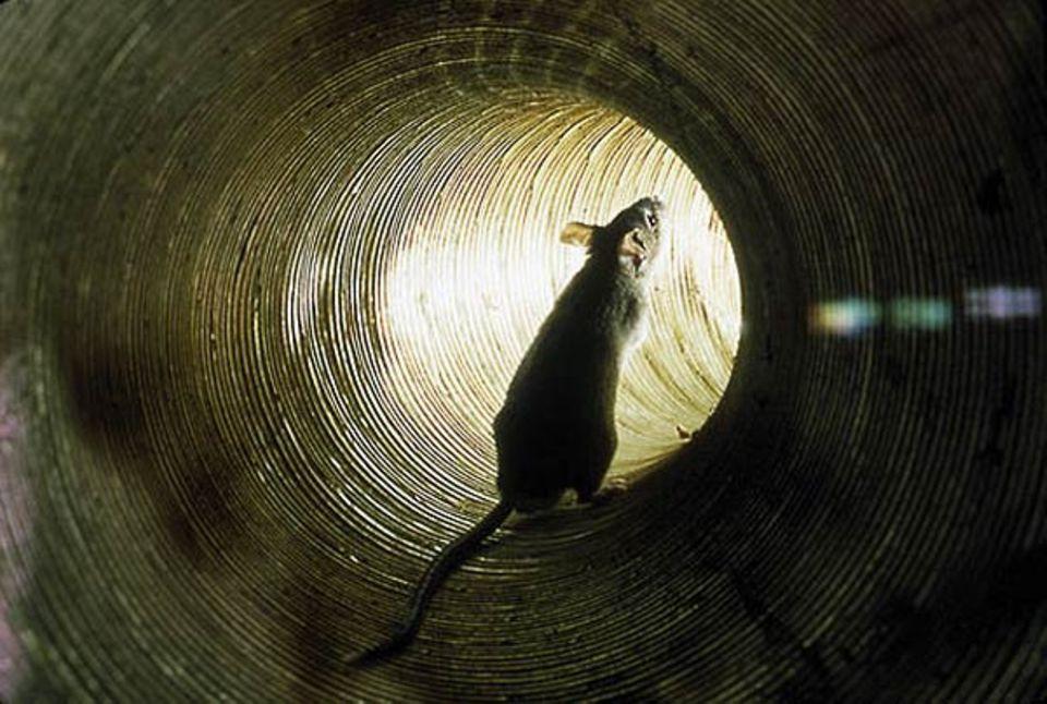 Fotoshow: Mäuseautobahn: Einen schnellen Verkehrsweg in großen Gebäuden bieten die Lüftungsschächte