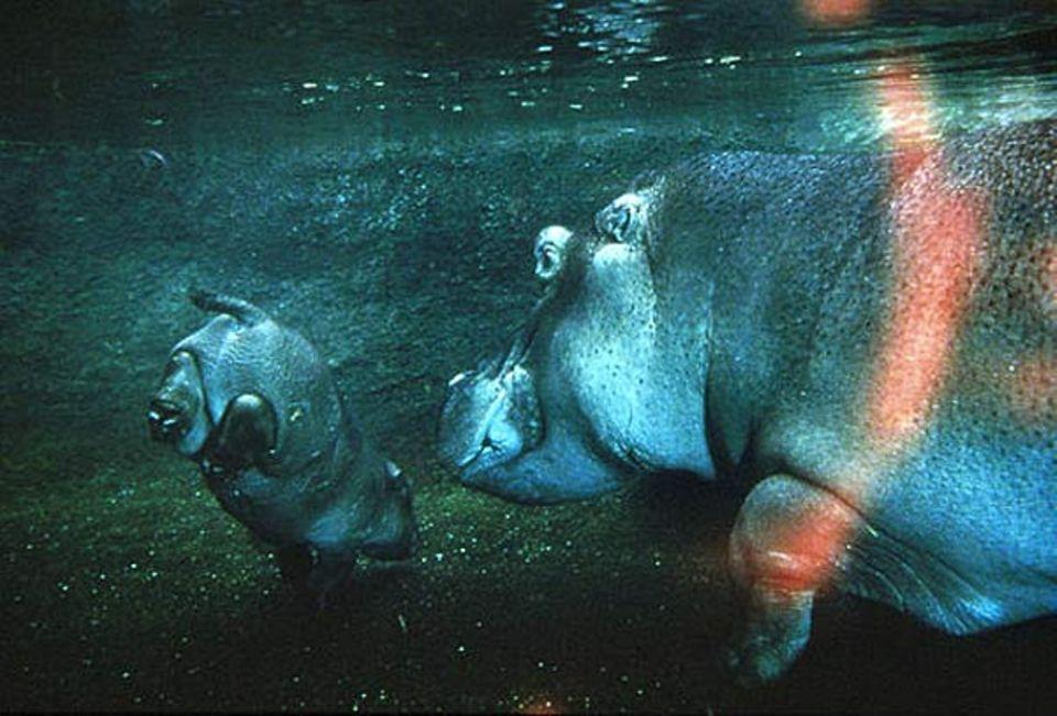 Fotoshow: Handstand: Federleicht ist das für ein Flusspferdkind unter Wasser