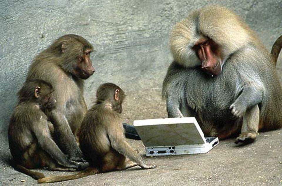 Fotoshow: Ein Pavian-Männchen am Laptop, von der eigenen Sippe ehrfürchtig bestaunt. Zehn Minuten später war der Computer wütend zertrümmert