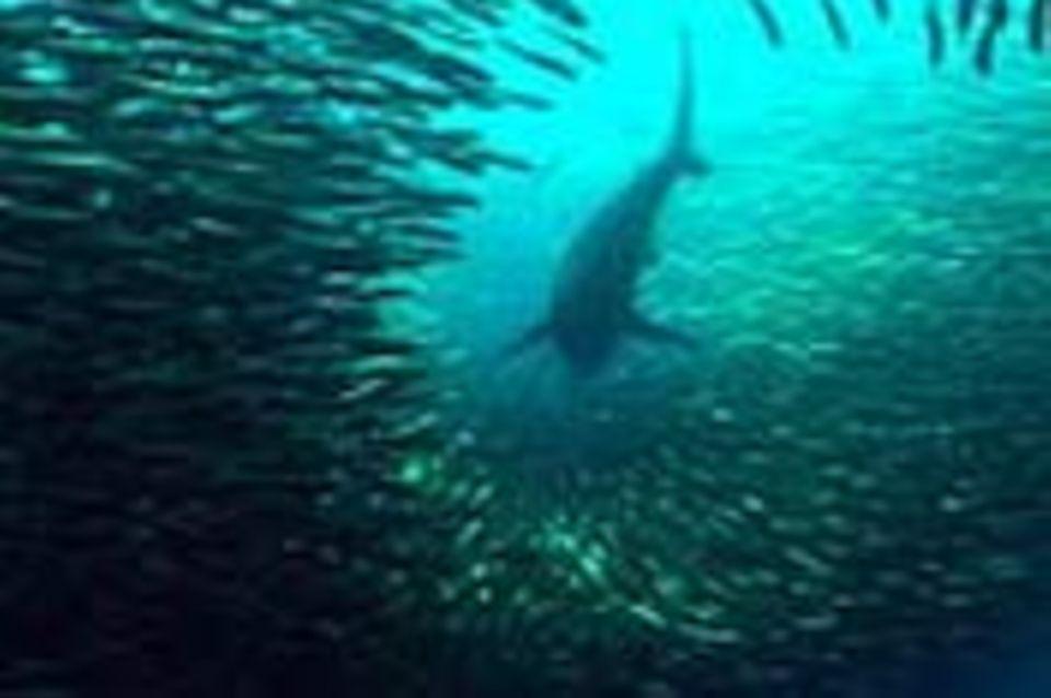 Meeresbiologie: Die Wanderungen der Sardinen