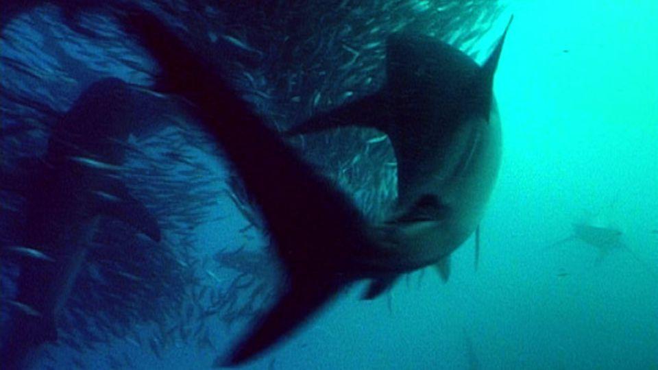 Der alljährliche Zug der Sardinen ist ein Festschmaus für Haie