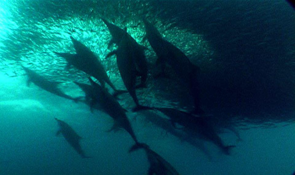 Delfine treiben die Sardinen mit Luftblasen oder Klicklauten zusammen