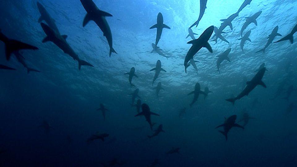 Seidenhaie treten gelegentlich in Schwärmen auf