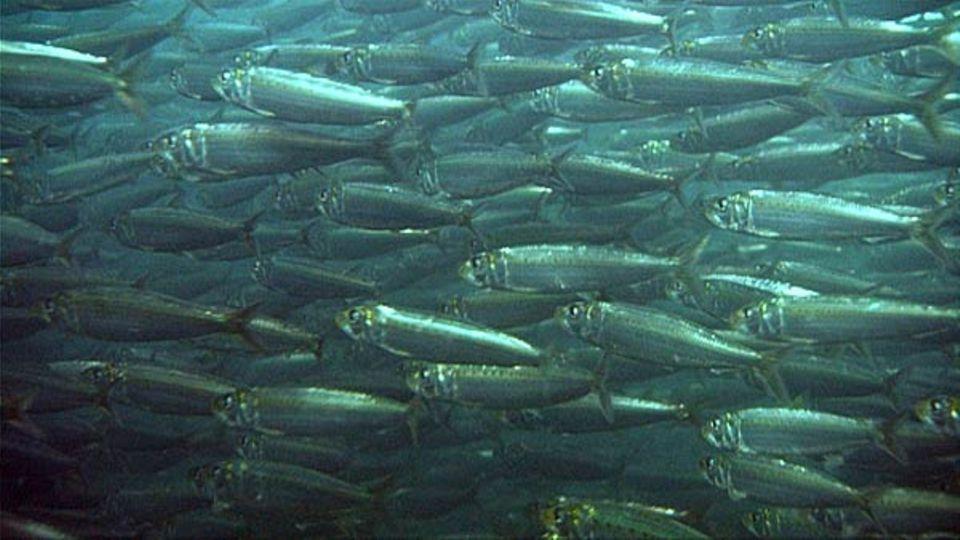 Viele der ziehenden Sardinen fallen gierigen Fressfeinden zum Opfer