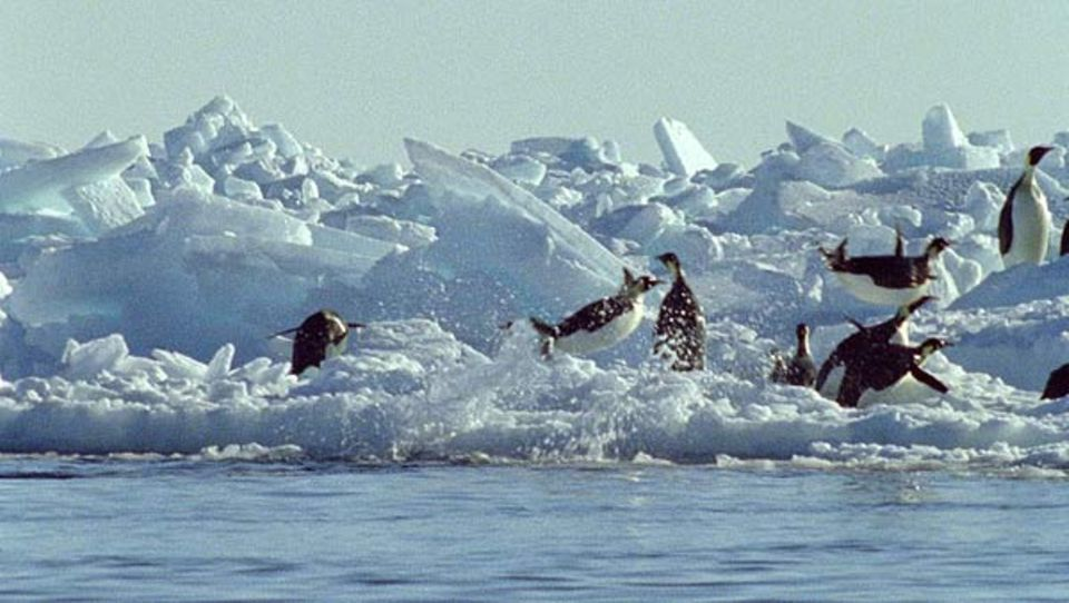Kaiserpinguine springen aus dem Wasser