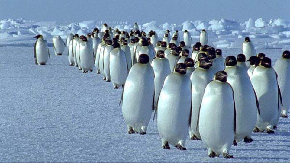 Fotogalerie: Kaiserpinguine marschieren über das Eis