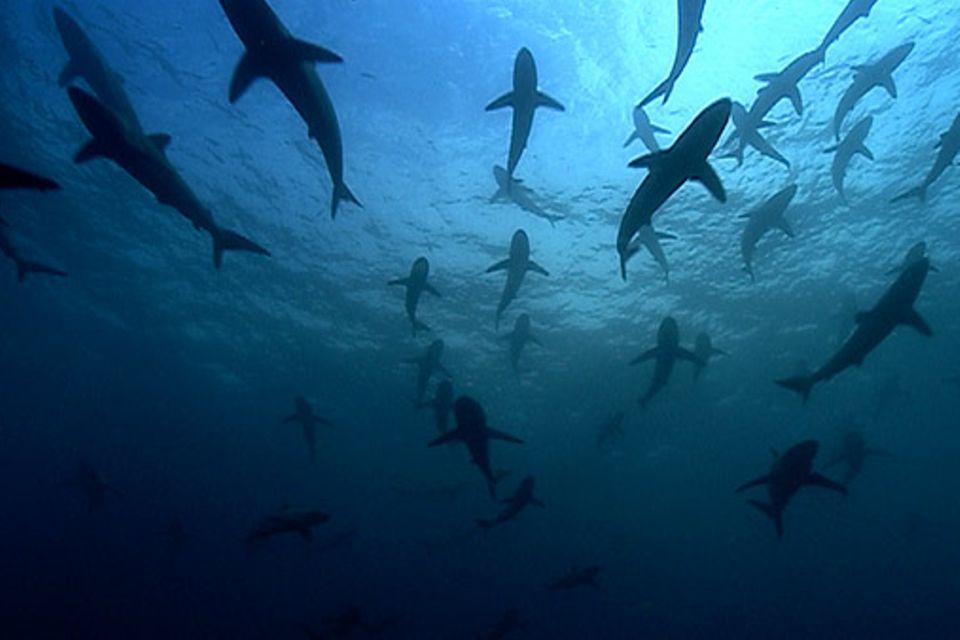 Fotogalerie: Silbrig glänzende Haie versammeln sich in der Nähe eines unterseeischen Bergs