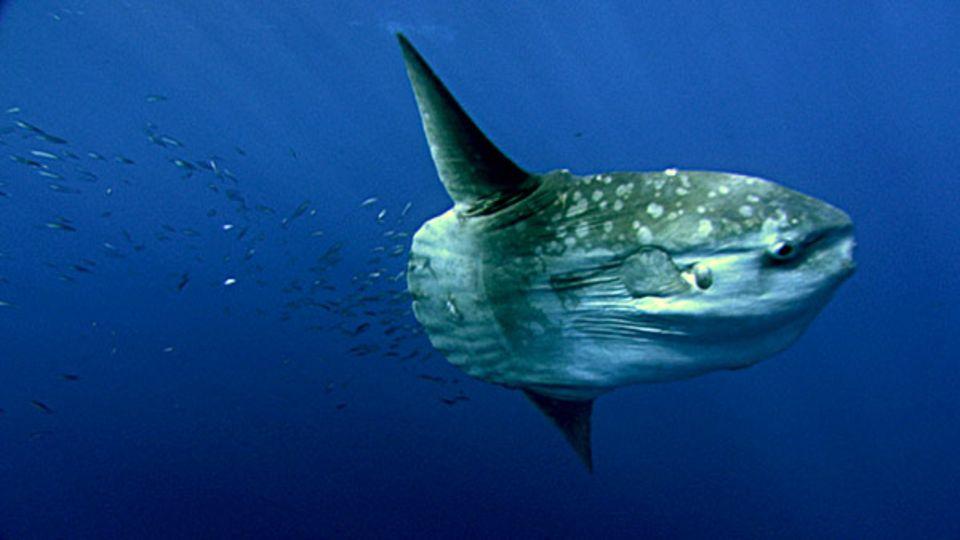 Fotogalerie: Mola Mola, der Mondfish, gleitet gemächlich durchs Wasser