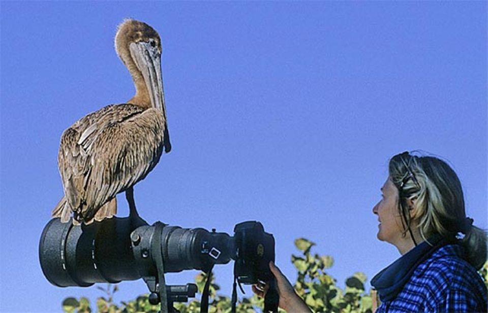 Beruf: Pelikane denken praktisch: Dieser hier nutzt die Kamera als Ausguck