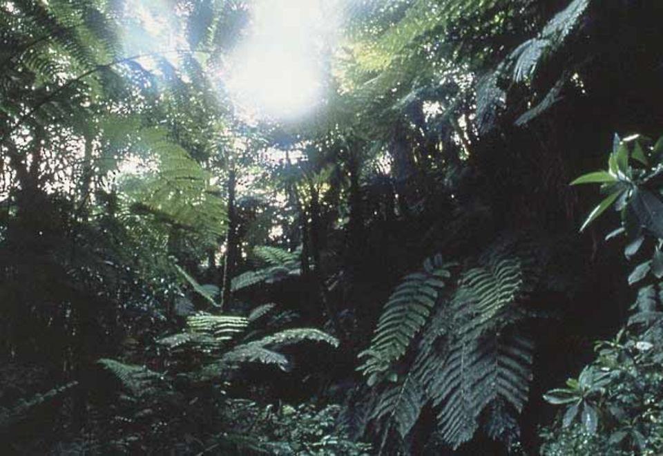 Überall auf der Erde sind die Regenwälder dramatisch bedroht: Jedes Jahr verschwindet eine Fläche von der Größe Italiens in Sägewerken und durch Brandstiftung
