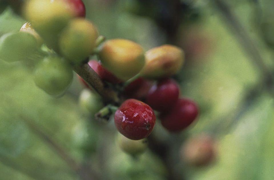 2: Nach neun Monaten sind die Beeren kirschrot