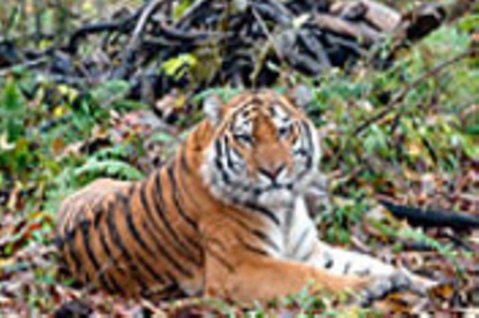 Artenschutz: Rettet den Sibirischen Tiger!