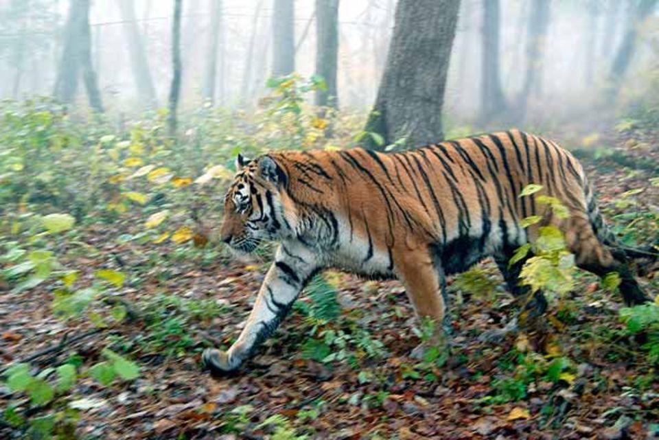 """Artenschutz: Sibirischer Tiger im Rehabilitationszentrum """"Utyos"""" für wilde Tiere in der Nähe von Khabarovsk, wo die Flüsse Amur und Ussuri aufeinander treffen"""