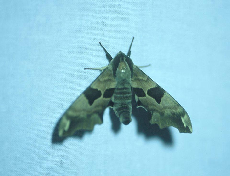 Nachtschönheit an der Burgruine: ein Lindenschwärmer ( Mimas tiliae )