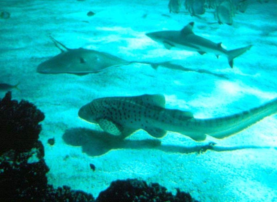 Rochen und Haie im Aquarium von Sydney
