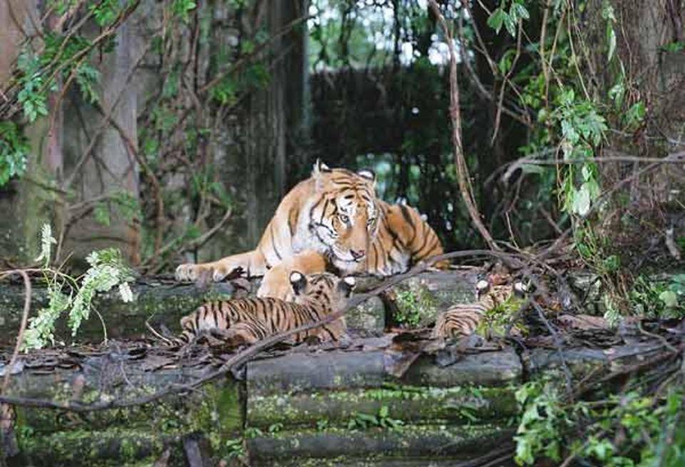 Unsere Tigerfamilie führt in einer zugewachsenen Ruinenstadt im Dschungel ein friedliches Leben
