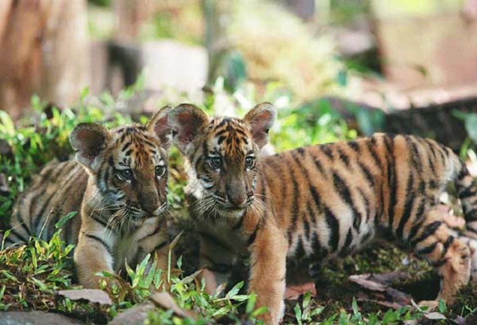 So klein mussten die Tigerdarsteller am Anfang der Dreharbeiten sein