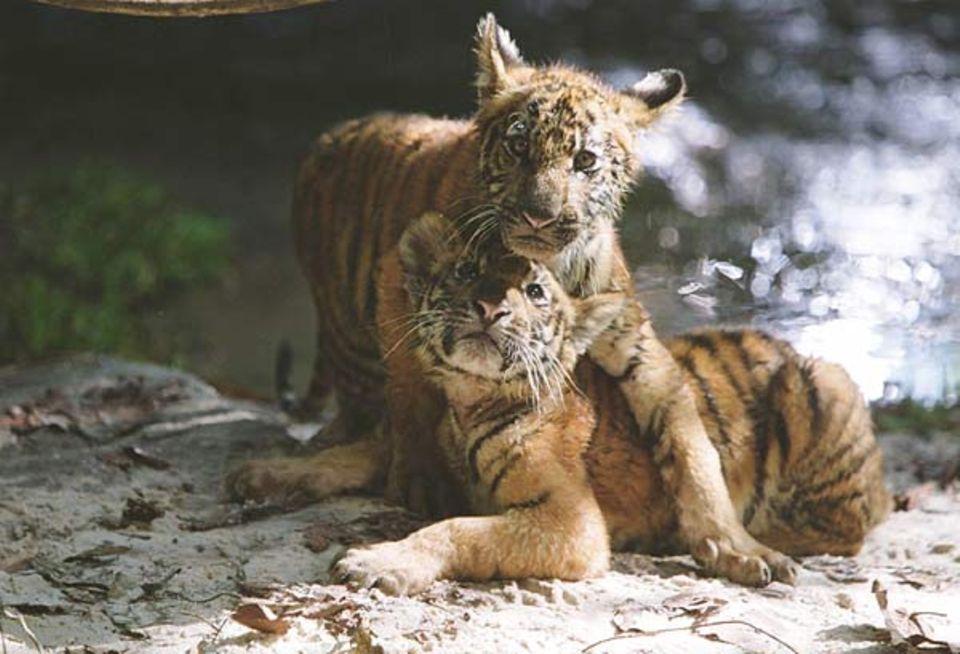 Diese zwei Tiger ahnen nicht, dass es von ihrer Art nur noch wenige gibt