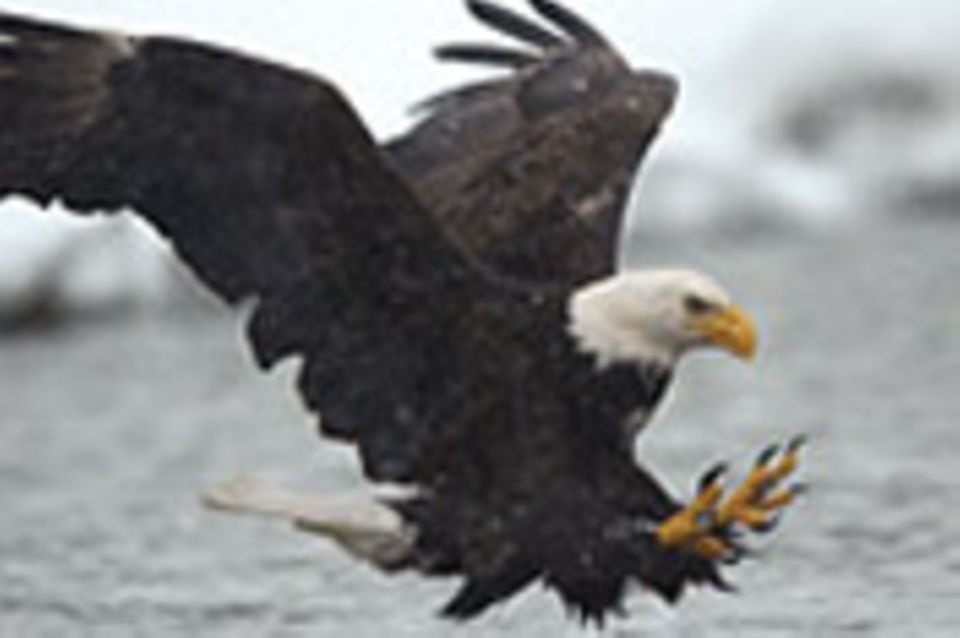 Vogelwelt: Weißkopfseeadler: Der Herrscher der Lüfte