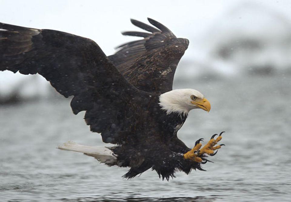 Vogelwelt: Im Sturzflug rasen Weißkopfseeadler auf ihre Beute zu