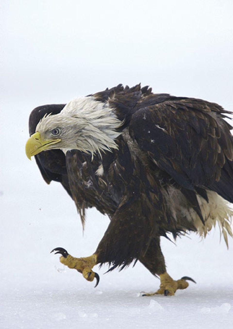 Vogelwelt: Der König der Lüfte ist vor allem ein Räuber