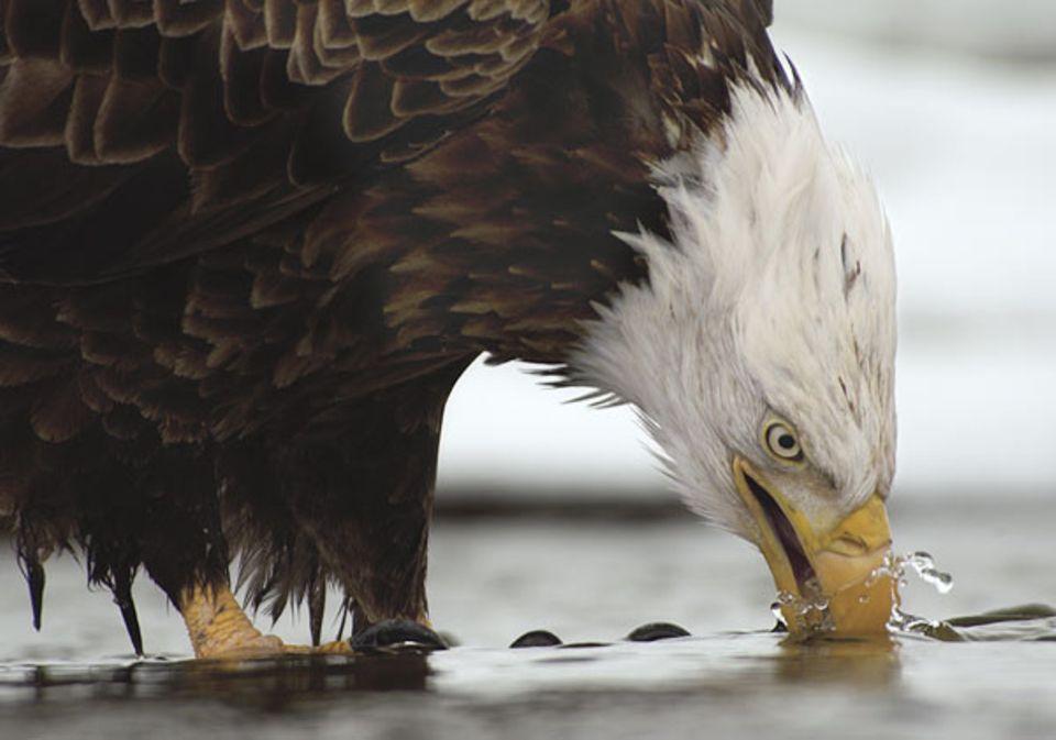 Vogelwelt: Ruckartig schwenkt dieser Vogel seinen Schnabel durchs Wasser. So wäscht er störende Fischreste und Schmutz ab