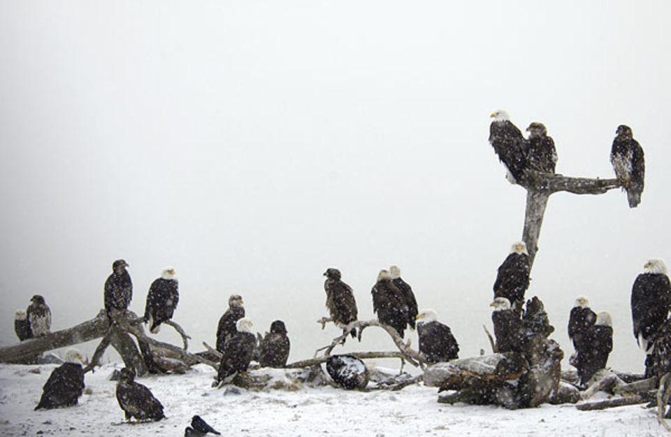 Vogelwelt: Wo viele Weißkopfseeadler sind, muss es etwas zu fressen geben