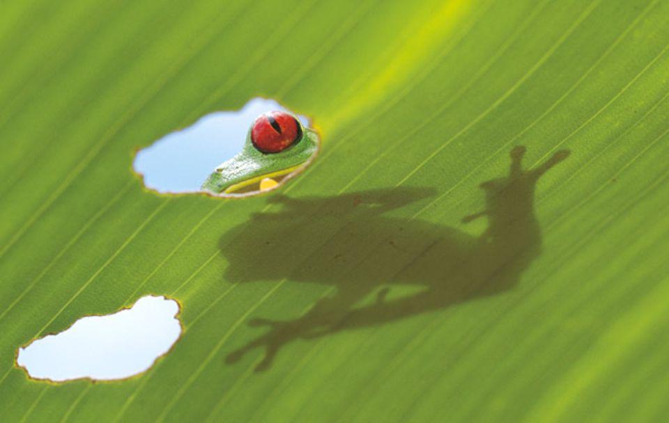 Tagsüber verbirgt sich der Rotaugenlaubfrosch im Blätterdach des Regenwaldes