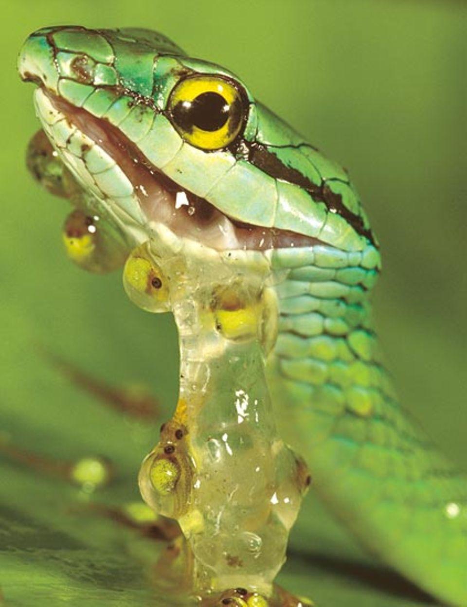 Wenn ein Feind naht, können die Larven des Rotaugenfrosches blitzschnell ihren Schlupftermin vorverlegen. Dann beißt die Schlange in reinen Gallert