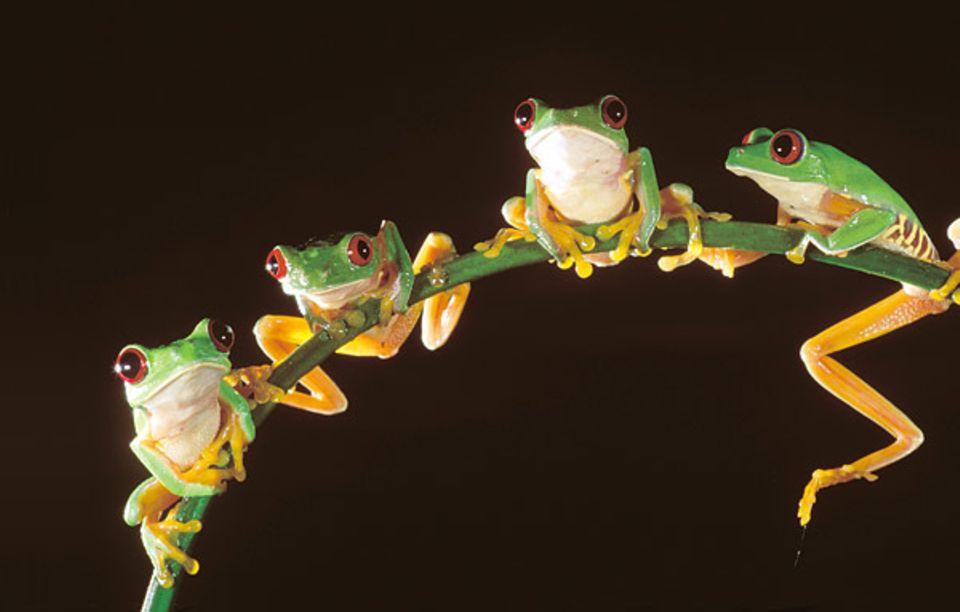 Allnächtlich teilen sich Hunderte Froschmännchen ein Balzrevier am Tümpel