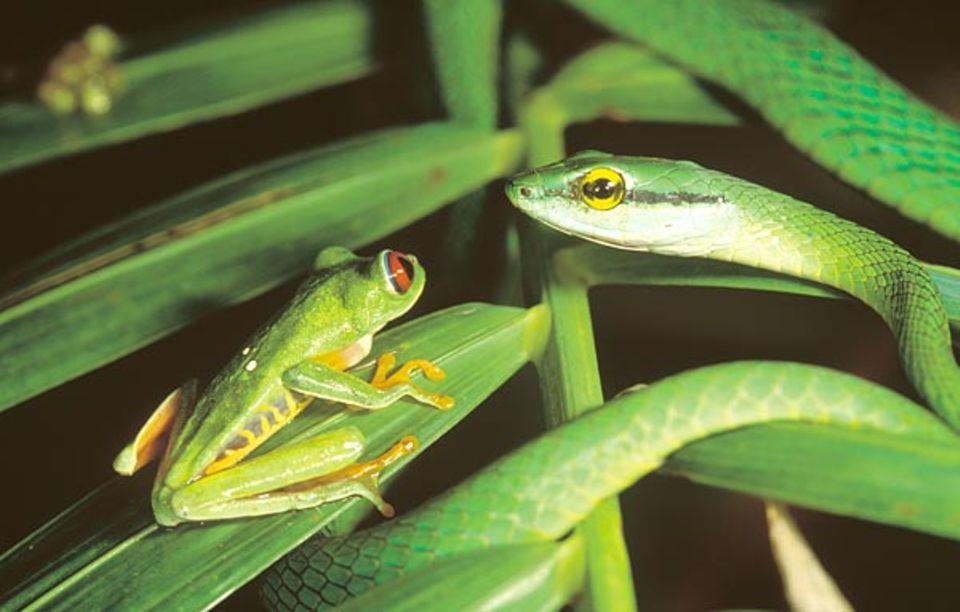 Eine Schlanknatter lauert zwischen den Blättern. Nur durch einen Sprung könnte sich der Frosch noch retten
