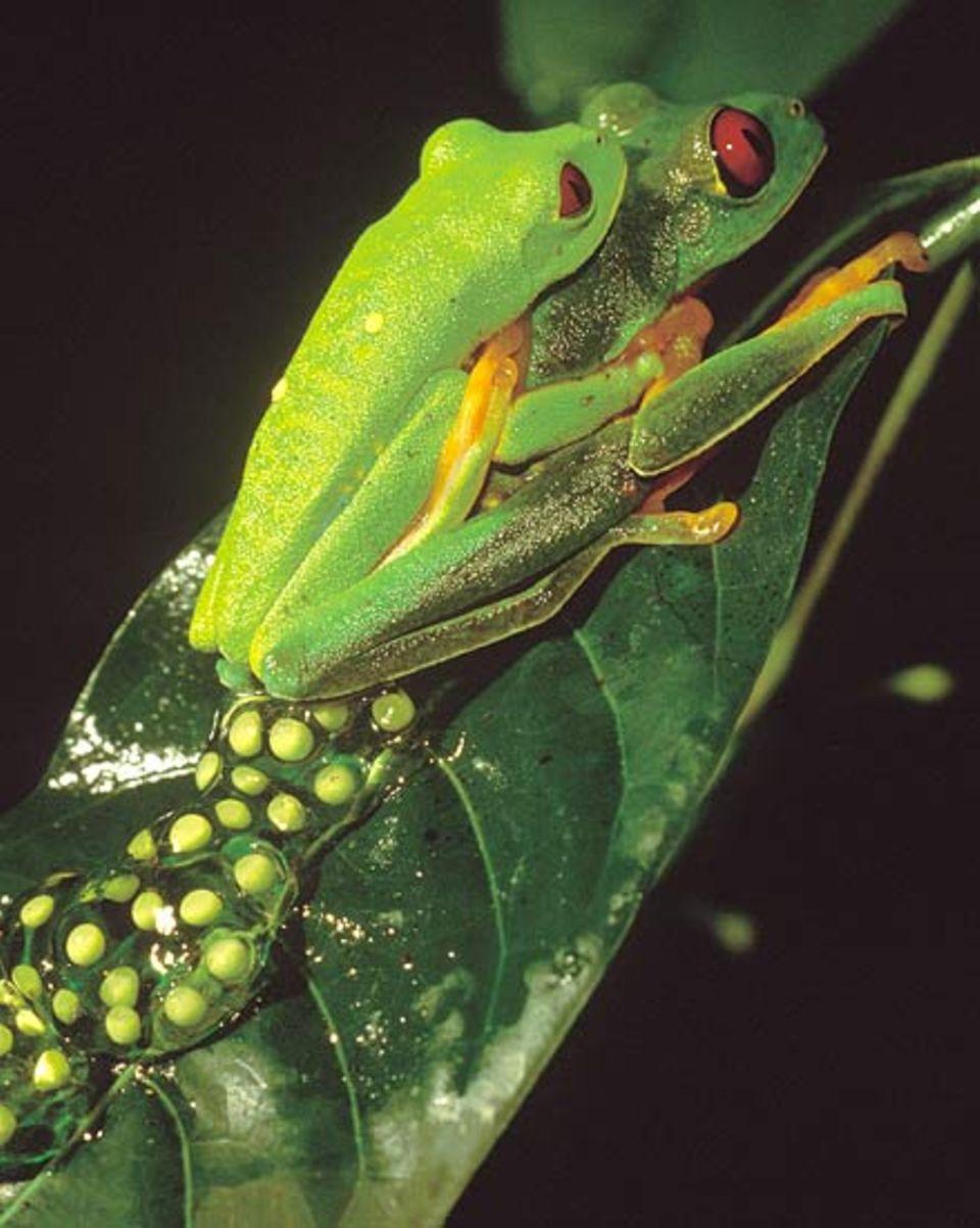 Während das Weibchen die Eier legt, spendet er seinen Samen dazu