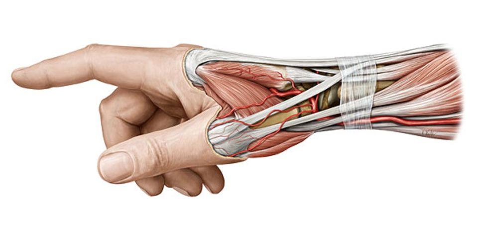Fingerzeig: Die Muskeln und Sehnen des rechten Handrückens