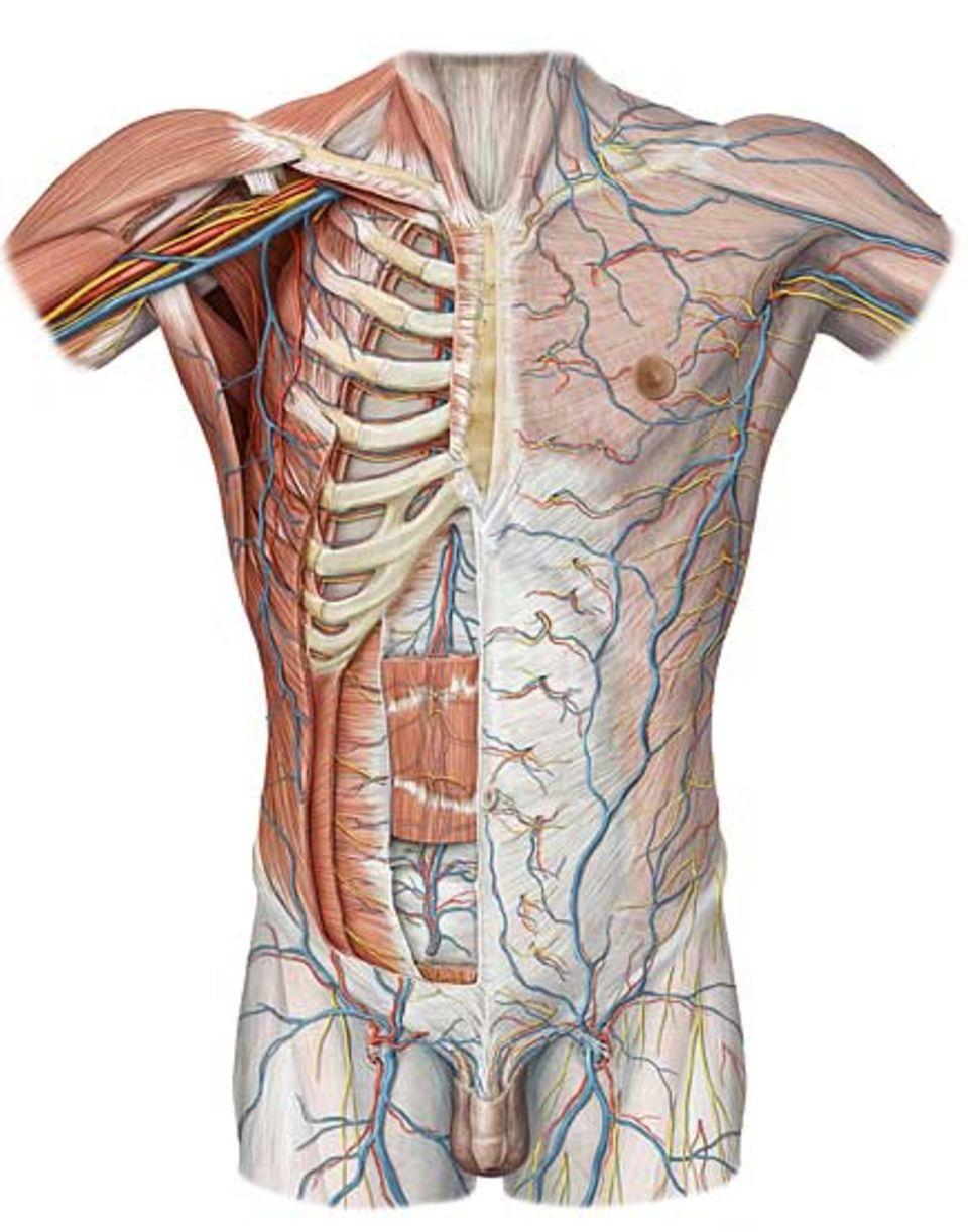 Unzählige Blutbahnen versorgen den Körper mit Sauerstoff und Nährstoffen