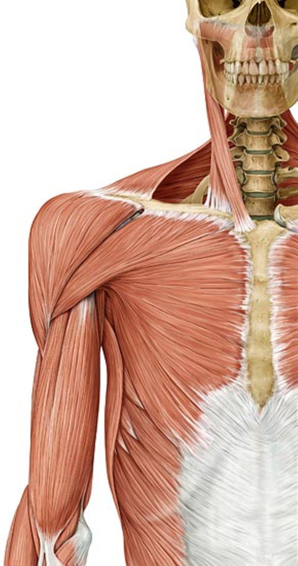 Populärer Muskel: Um den Unterarm zu beugen, brauchen wir den berühmten Bizeps des Oberarms