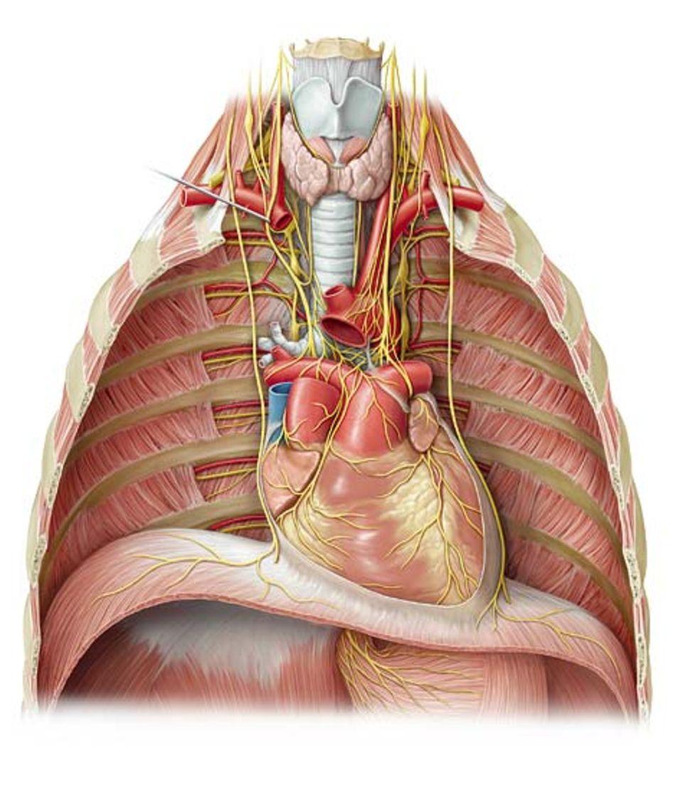 Der wichtigste Muskel überhaupt: das Herz