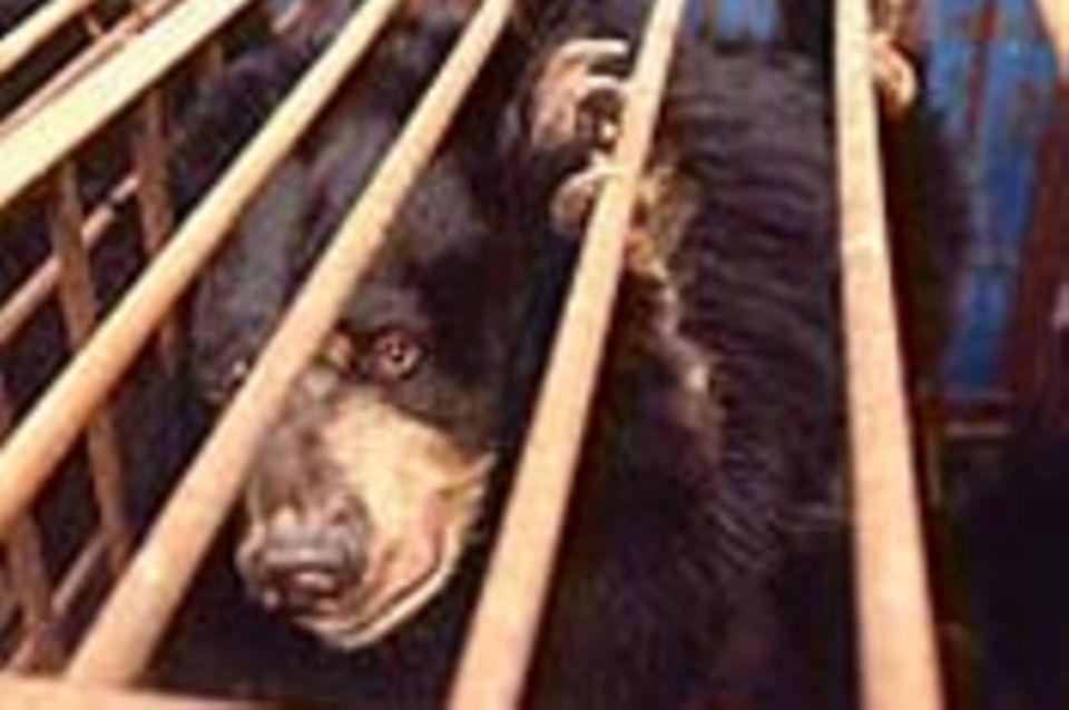 """China: Die Qual der """"Galle-Bären"""""""