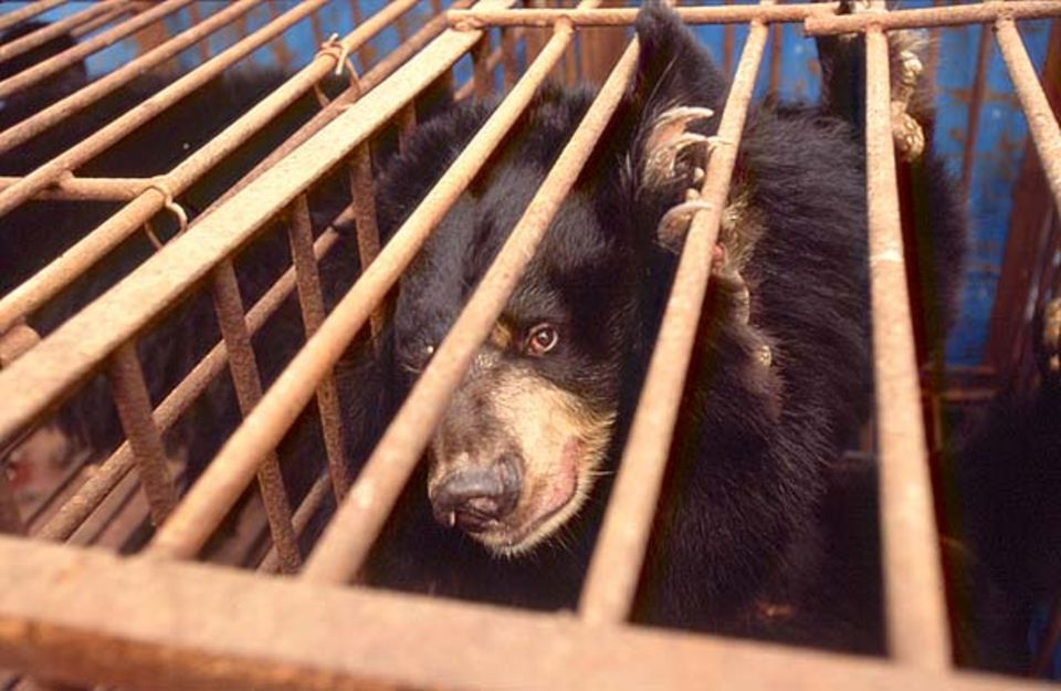 Zusammengepfercht auf Lastwagen kommen die Bären auf der Rettungsstation der Animals Asia Foundation (AAF) in Chengdu an. Sie sind zu diesem Zeitpunkt seit Stunden unterwegs und vollkommen erschöpft
