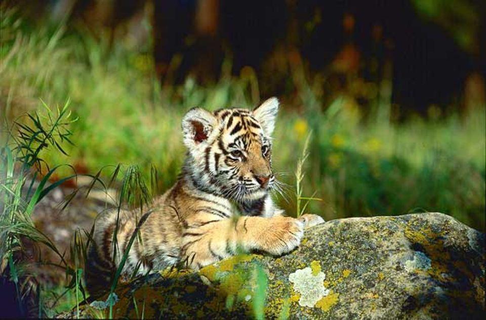 """Tierlexikon: Ein Königstigerbaby ruht sich vom Herumtollen mit seinen Geschwistern aus - auch aus diesem knuddeligen """"Kätzchen"""" wird später einmal ein mächtiger Herrscher des Dschungels"""
