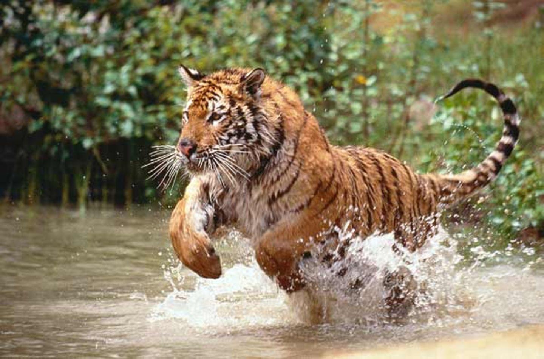 Tierlexikon: Königstiger stürzen sich gern in die Fluten. Sie sind sogar ausgezeichnete Schwimmer - und legen dabei Strecken bis zu 30 Kilometer zurück